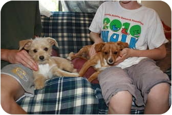Terrier (Unknown Type, Small) Mix Puppy for adoption in California City, California - Minnie & Micky