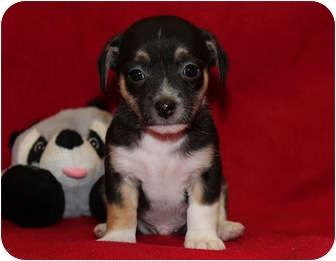 Bichon Frise/Chihuahua Mix Puppy for adoption in Broomfield, Colorado - Cujo