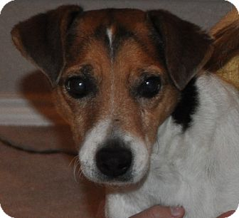 Jack Russell Terrier Dog for adoption in Dallas/Ft. Worth, Texas - Boomer in Plano