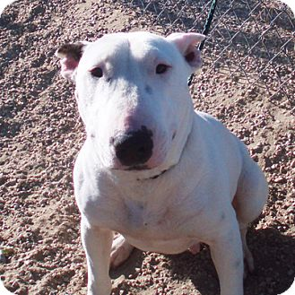 Bull Terrier Dog for adoption in Los Angeles, California - Samantha