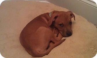 Boxer/Hound (Unknown Type) Mix Puppy for adoption in Huntsville, Alabama - Lady
