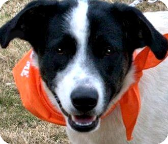 English Setter/Australian Shepherd Mix Dog for adoption in Wakefield, Rhode Island - POPPY(SO SMART--LOVING--HAPPY!