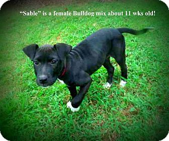 Bulldog Mix Puppy for adoption in Gadsden, Alabama - Sable