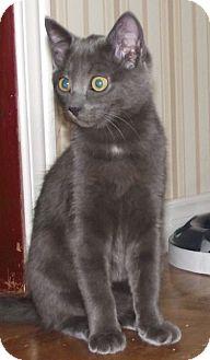 Domestic Shorthair Cat for adoption in Englehart, Ontario - Joanie