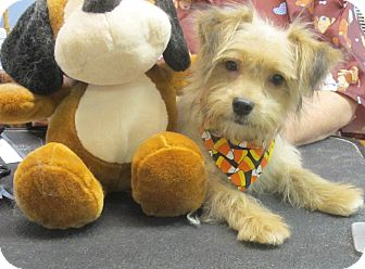 Maltese/Yorkie, Yorkshire Terrier Mix Puppy for adoption in Hagerstown, Maryland - Bacardi