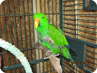 Eclectus for adoption in Burleson, Texas - Paddy
