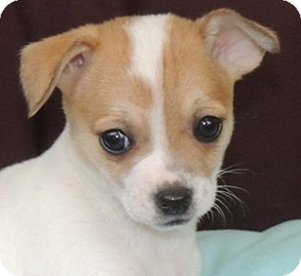 Chihuahua/Jack Russell Terrier Mix Puppy for adoption in La Habra Heights, California - Dodi