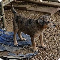 Adopt A Pet :: Jax - New Boston, NH