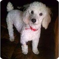 Adopt A Pet :: FL - Snowie - Boca Raton, FL