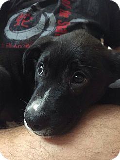 Labrador Retriever Mix Puppy for adoption in Miami, Florida - Aphrodite
