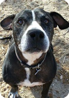 Labrador Retriever/Pit Bull Terrier Mix Dog for adoption in Studio City, California - SUKI