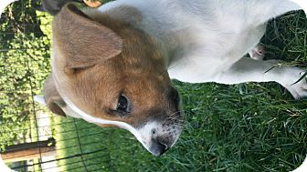 American Staffordshire Terrier/Jack Russell Terrier Mix Puppy for adoption in Mechanicsburg, Pennsylvania - Reed Richards (Mr Fantastic)