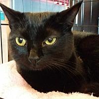 Domestic Shorthair Cat for adoption in Marietta, Georgia - Onyx