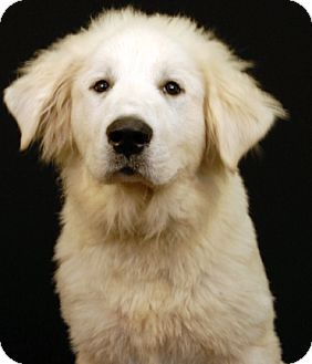 Great Pyrenees Mix Dog for adoption in Newland, North Carolina - Max