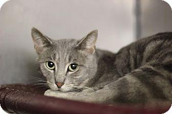 Domestic Shorthair Cat for adoption in Midland, Michigan - Lansky - NO FEE