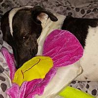 Adopt A Pet :: Bonnie Belle - Sumter, SC