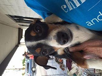 Basset Hound Mix Dog for adoption in Fresno, California - Timmy