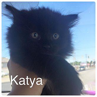 Domestic Longhair Kitten for adoption in Zanesville, Ohio - Katya