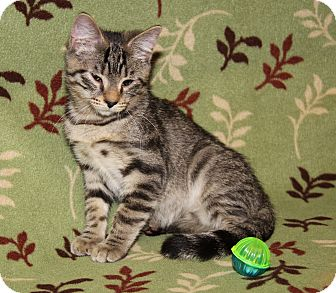 Domestic Shorthair Cat for adoption in Marietta, Ohio - Toulouse (Duchess' Kitten)