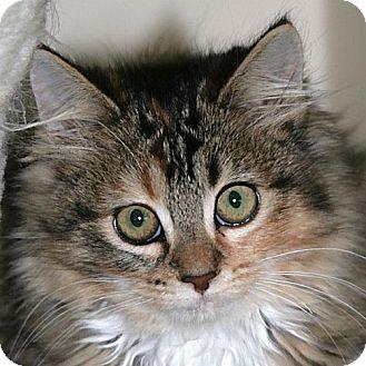 Domestic Longhair Kitten for adoption in Port Angeles, Washington - Noelle