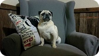 Pug Mix Dog for adoption in Grapevine, Texas - Chula