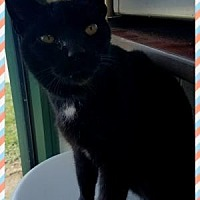 Domestic Shorthair/Domestic Shorthair Mix Cat for adoption in Anderson, Indiana - Chicken Noodle