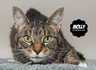 Domestic Shorthair Cat for adoption in Wyandotte, Michigan - Molly