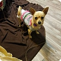Adopt A Pet :: Pancake (FORT COLLINS) - Fort Collins, CO