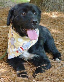 Flat-Coated Retriever Mix Dog for adoption in Helena, Alabama - Junior