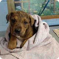 Pit Bull Terrier Mix Puppy for adoption in San Bernardino, California - URGENT ON 8/15  San Bernardino