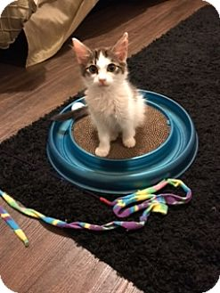 Domestic Shorthair Kitten for adoption in Birmingham, Alabama - Oliver