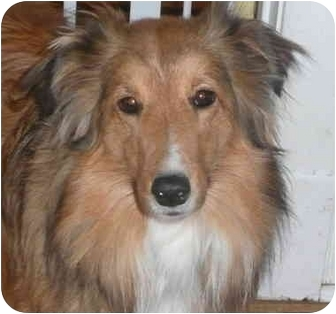 Sheltie, Shetland Sheepdog Dog for adoption in Chicago, Illinois - Charlotte(ADOPTED!)