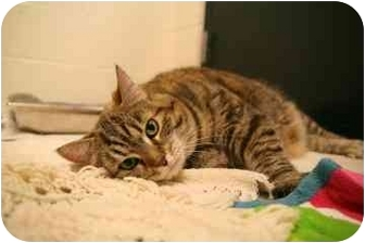 Domestic Shorthair Cat for adoption in Walker, Michigan - Fat Maddie
