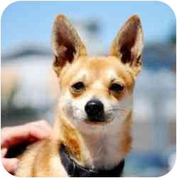 Chihuahua/Pomeranian Mix Dog for adoption in Berkeley, California - Coyote