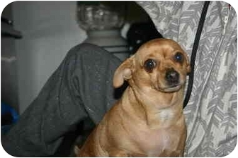 Chihuahua Dog for adoption in Long Beach, New York - Tootie