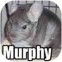 Chinchilla for adoption in Virginia Beach, Virginia - Murphy