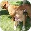 Photo 3 - Rhodesian Ridgeback/Terrier (Unknown Type, Medium) Mix Dog for adoption in San Dimas, California - Mommy
