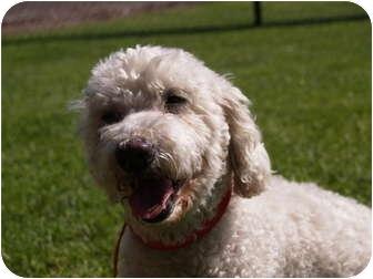 Bichon Frise Mix Dog for adoption in El Cajon, California - Benji
