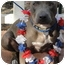 Photo 4 - American Pit Bull Terrier/American Staffordshire Terrier Mix Dog for adoption in Santa Ana, California - Lindsey