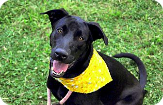 Labrador Retriever Mix Dog for adoption in Houston, Texas - Mia