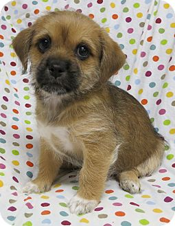 Schnauzer (Miniature)/Yorkie, Yorkshire Terrier Mix Puppy for adoption in Plainfield, Illinois - Crosby