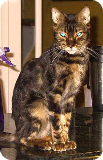 Bengal Cat for adoption in Columbus, Ohio - Mr. Lovebug