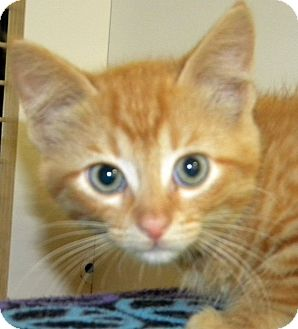 Domestic Shorthair Kitten for adoption in Green Bay, Wisconsin - Grady