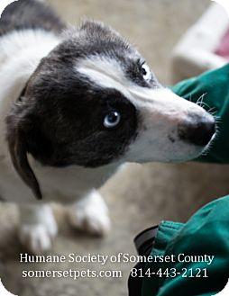 Corgi Mix Dog for adoption in Somerset, Pennsylvania - Bonnie
