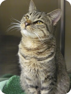 Domestic Shorthair Cat for adoption in Worcester, Massachusetts - Alex