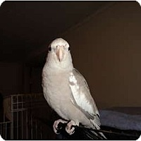 Adopt A Pet :: Sweet Baby Hand Fed Cockatiel - Vancouver, WA