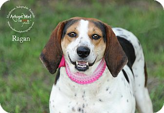 Treeing Walker Coonhound/Hound (Unknown Type) Mix Dog for adoption in Bolivar, Tennessee - Ragan