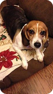 Beagle Mix Dog for adoption in Freeport, Maine - Bessie