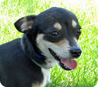 Chihuahua Mix Dog for adoption in Mountain Center, California - Mercy