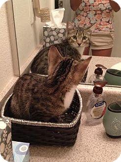 Domestic Shorthair Kitten for adoption in Gainesville, Florida - Ochoa